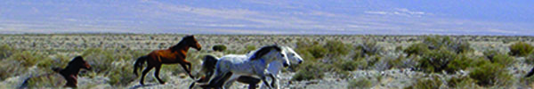 Horses running through Owyhee, NV